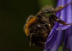 Bombus terrestris (markhortonphotography) Tags: bumblebee surrey bombusterrestris macro focusstack bee nature flower surreyheath 3shotstack agapanthus insect wildlife bufftailedbumblebee invertebrate
