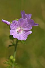 Malva (pstenzel71) Tags: blumen natur pflanzen malva malve mallow darktable flower bokeh