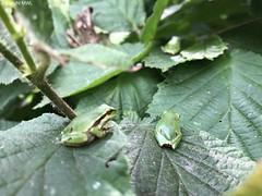 green on green (Phil Arachno) Tags: germany kressbronn laubfrosch hyla amphibia