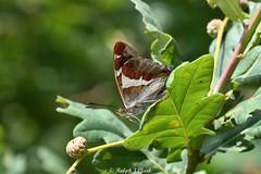 Emperor At Rest (Ralph J Clark) Tags: purpleemperor butterfly male kneppwildlands summer nikon200500mmf56