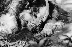 Anthony taking a nap ..,🐾 (unbunt.me) Tags: filmmeinfilmlabanalogwwwmeinfilmlabde film meinfilmlab analog wwwmeinfilmlabde contaxg1 contax blackandwhite blackwhite anthony dog 35mm bordercollie ilford hund