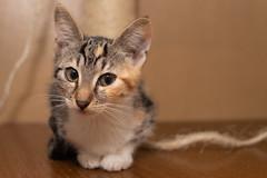 Babykätzchen (Jana`s pics) Tags: katzen kaetzchen katzenportrait babykatze kitten cat cats catmoments haustiere pets animals tiere tierfotografie animalphotography