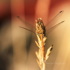 About Balance (Teranique Impressions) Tags: teranique teraniqueimpressions macro macrophotography libel balance garden red wings insect summer rest warm warmcolors