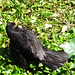 Male blackbird, 2019 Jul 22 -- photo 1