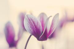 (Rafi Moreno) Tags: ciclamen flores bokeh photoshop naturaleza pink flowers pale desenfoque canon rafi
