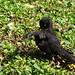 Male blackbird, 2019 Jul 22 -- photo 5