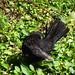 Male blackbird, 2019 Jul 22 -- photo 4