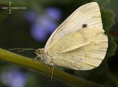 Small White Butterfly (John Chorley) Tags: butterfly smallwhite smallwhitebutterfly johnchorley nature white outdoor macro macrophotography macros closeups closeup close garden 2019
