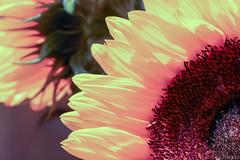 Sunflower (_chloechappell) Tags: sunflower flower light sun yellow closeup macro bokeh selectivefocus focus canon canon700d detail
