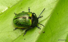Leaf Beetle, Platyphora sp.? Chrysomelidae (In Memoriam: Ecuador Megadiverso) Tags: andreaskay beetle chrysomelidae coleoptera ecuador leafbeetle platyphora
