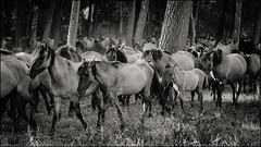 Dülmen pony #6 (Stefan A. Schmidt) Tags: dülmenpony wildbreed horse pony germany outdoors noiretblanc