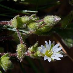 Cerastium diffusum (Sea Mouse-ear) (Hugh Knott) Tags: cerastiumdiffusum seamouseear flora flowers anglesey wales uk caryophyllaceae macro