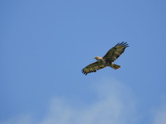 Common Buzzard circling (Pendlelives) Tags: common buzzard circling wings large big canal leeds liverpool nature wildlife countryside bird birds ornithology pendle pendlelives nikon p1000 clairty vibrant vibrance colne nelson background animals colours colour color feathers uk british species