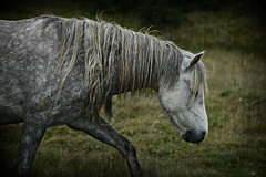 Ghost grey (PentlandPirate of the North) Tags: pony welsh penmaenmawr rain miserable ghost grey horse