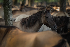 Dülmen pony #7 (Stefan A. Schmidt) Tags: dülmenpony wildbreed horse pony germany outdoors