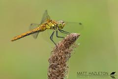 Ruddy darter (Matt Hazleton) Tags: darter ruddydarter dragonfly insect wildlife nature animal outdoor canon canoneos7dmk2 canon100mm 100mm eos 7dmk2 matthazleton matthazphoto bcnwildlifetrust northamptonshire summerleys