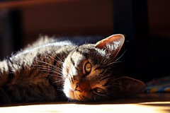Mittens having a break (JaaniicB) Tags: canon eos 77d mittens 100mm f28l cat domestic animal sleeping lovely loving ground level prime eyes mood shadow