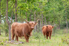 Highland Cattle (oandrews) Tags: 30dayswild animal animals cambridgeshire canon canon70d canonuk cattle grafhamwater grazing highlandcattle horns nature naturereserve outdoors wildlifetrusts stneots england unitedkingdom