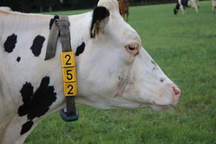 Delta Boldi Control (excellentzebu1050) Tags: dairycows livestock dairyfarm cow cattle closeup farm field animal animalportraits grass coth5