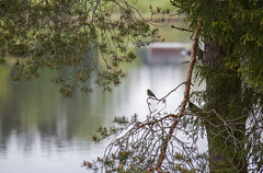 Spotted flycatcher (Julia Maijala) Tags: canon canoneos canoneos500d finland finnish suomi spring may 2019 nature outdoor bird birdphotography animal birdphoto animalphotography landscape tree muscicapastriata scotspine lake canon55250mm 55250mm 55250