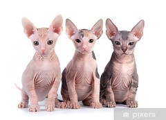 Sphynx kittens with white background (lisastumpm) Tags: cat kitten pets sphynx animal backgrounds bald big carnivore closeup companion cub curious cute domestic ears feline fur grey grooming isolated kitty lovable mammal meow meowing nature playful portrait purr shot silver small studio sweet tabby whiskers white wild wildlife young