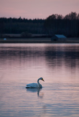 Swan in the evening time (Julia Maijala) Tags: canon canoneos canoneos500d canon55250mm 55250mm 55250 finland finnish suomi spring april 2019 nature outdoor bird birdphotography animal sunset sundown lake swan cygnuscygnus birdphoto animalphotography reflection water forest pink colorfulsunset evening dusk landscape