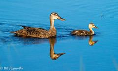 SONY-ILCE-A9,  Mottled Ducks,   02550 ,July 29, 2019 (Bill Foxworthy) Tags: wood birds duck spoonbill bird stork