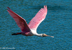 SONY-ILCE-A9,  Roseate Spoonbill,   02002 ,July 28, 2019 (Bill Foxworthy) Tags: birds spoonbill duck wood stork bird