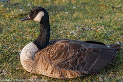 Canada goose (Graham Bowley) Tags: summer canadageese wildlife waterfowl reading birds goose evening berkshire riverthames