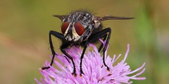 Flesh Fly - Sarcophaga carnaria 260719 (2) (Richard Collier - Wildlife and Travel Photography) Tags: macro closeup insectsonflowers insects britishinsect british fly fleshfly sarcophagacarnaria