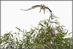 First Flight 5681 (maguire33@verizon.net) Tags: bif elanusleucurus pradoregionalpark whitetailedkite bird birdofprey juvenile kite raptor wildlife chino california unitedstatesofamerica