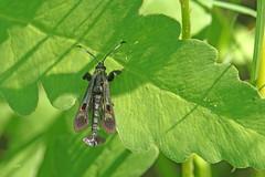 Sésie du frêne / Albuna fraxinii (alainmaire71) Tags: insecte insect lepidoptera lépidoptère papillon moth sesiidae albunafraxinii sésie clearwingmoth nature quebec canada