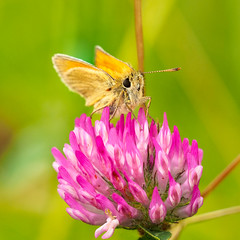 skipper (Alf Branch) Tags: skipper butterfly insects insect invertibrate cumbria closeup westcumbria macrosafari olympus olympusomdem1 omd zuiko zuiko40150mmf28pro alfbranch