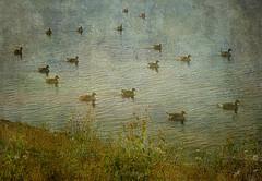 Wild Geese (Rollingstone1) Tags: greylaggeese fowl bird craigmaddiereservoir milngavie scotland water reservoir grass bank birds colour vivid art artwork outdoor nature