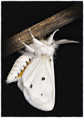 _A997394 (mbisgrove) Tags: 150mmexdgapohsm a99m2 moth a99ii sigma insect macro sony white