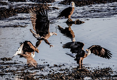 0P6A7447-2-5 Taking All Comers (edhendricks27) Tags: eagle wildlife natire canon