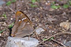 Väike-kiirgliblikas; Apatura ilia; Lesser Purple Emperor (urmas ojango) Tags: lepidoptera liblikalised insecta putukad insects butterfly koerlibliklased nymphalidae väikekiirgliblikas apaturailia lesserpurpleemperor