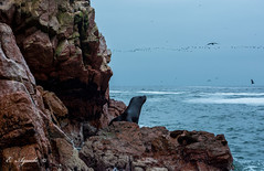 Sea Lion (E. Aguedo) Tags: sea lion rocks ocean water birds wild life animal nature ngc peru southamerica paracas ica