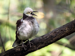 Singing Starling (helenehoffman) Tags: bird sandiegozoo aves owensaviary conservationstatusleastconcern blackcollaredstarling gracupicanigricollis song seasia