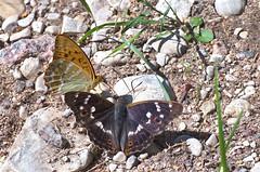 Rohetäpik (Argynnis paphia) + väike-kiirgliblikas (Apatura ilia) (urmas ojango) Tags: lepidoptera liblikalised insecta putukad insects butterfly koerlibliklased nymphalidae väikekiirgliblikas apaturailia lesserpurpleemperor rohetäpik argynnispaphia silverwashedfritillary