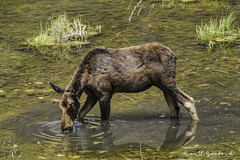 201907 Trip.80D.20190714_20-Edit (Scott Sanford Photography) Tags: 80d canon ef14xiii ef100400mmf4556lii eos naturalbeauty naturallight nature outdoor sunlight wildlife moose roadtrip travel trip vacation