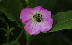 Bumblebee (Diane Marshman) Tags: bumblebee bee black yellow body legs head pink petunia annual flower garden container plant summer blooming blooms green leaves pa pennsylvania nature