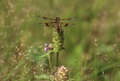 Ignoring You (Diane Marshman) Tags: dragonfly grass clover wildflower brown clear wings body abdomen summer pa pennsylvania nature seed resting