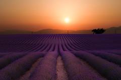 Profumo d'estate (ONINOT) Tags: provenza valensole lavanda prato viola oro alba