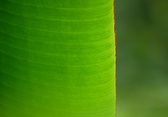 banana leaf (georgetan_chapter2) Tags: plant tree leaf garden park nature green simplicity pattern