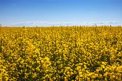 Nothing But Yellow (Bracus Triticum) Tags: nothing but yellow canola アルバータ州 alberta canada カナダ 7月 七月 文月 shichigatsu fumizuki bookmonth 2019 reiwa summer july
