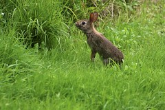 Lots Of Grass (Diane Marshman) Tags: eastern cottontail rabbit bunny young baby brown tan black gray fur stretching looking motion action grass summer pa pennsylvania nature wildlife