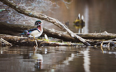 Wood Duck (RWGrennan) Tags: wood duck bird water reflection log tree nature outdoors outside pittsfield massachusetts ma onota lake aix sponsa wetland forest waterfowl nikon d610 rgrennan rwgrennan ryan grennan tamron 150600