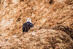 Bald Eagle, Canyon Lake Arizona (Buck--Fever) Tags: baldeagle birds earthnaturelife bird canyonlakearizona canon60d canon tamron18400lens saltriverlakes saltriver centralarizona arizona arizonadesert arizonawonders nature