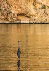 Walk on Water (Buck--Fever) Tags: blueheron birds earthnaturelife bird canyonlakearizona canon60d canon tamron18400lens saltriverlakes saltriver centralarizona arizona arizonadesert arizonawonders nature
